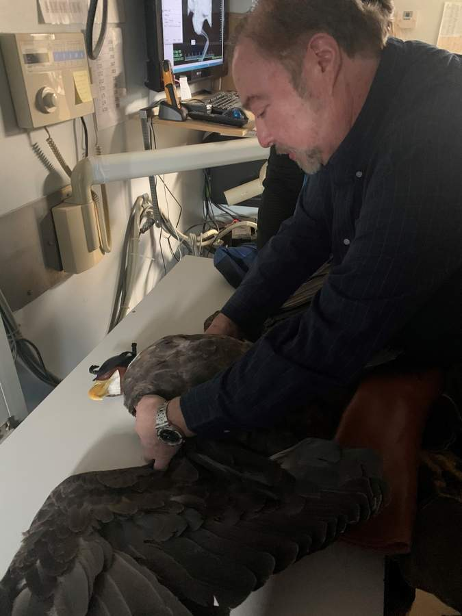Dr. Richard Alter DVM checks the shoulders of an adult female bald eagle, looking for any signs of breaks or dislocation following its collision with the windshield of an oncoming tractor trailer on I-95 in January. At his Guilford practice, Pet's Friend Animal Hospital, Richard has been offering pro-bono services for three decades to assist animals in the care of local wildlife rehabilitation groups. Photo by Angela Sheaffer