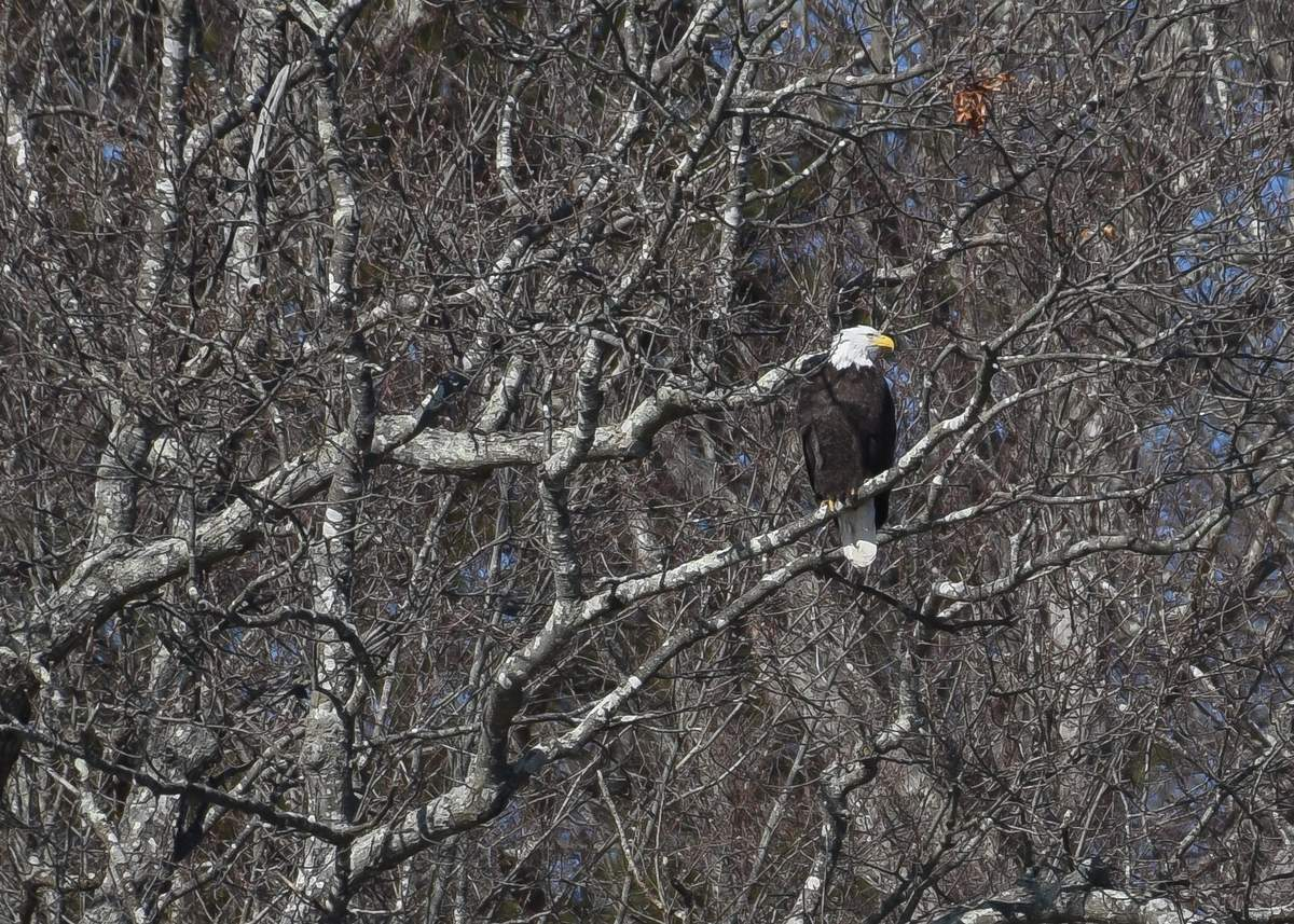 Friday afternoon was cold and windy on the Connecticut River and a great way to see the Eagles and other winter birds from the deck of RIverQuest.  The Winter Wildlife Eagle Cruises are back and depart from the Connecticut River Museum. Photo by Kelley Fryer/The Courier