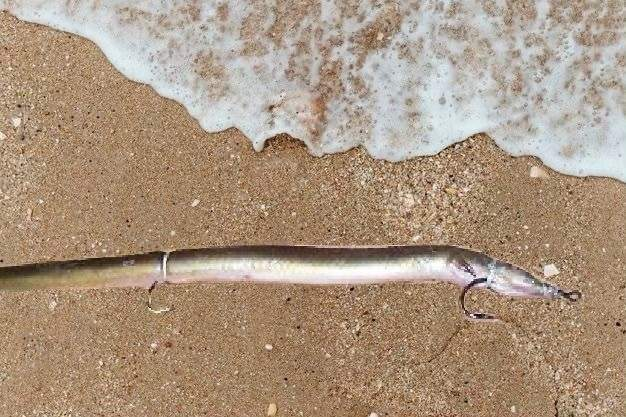 Is a rigged dead eel considered bait or an artificial man-made lure? This is what the Atlantic States Marine Fisheries Commission's Striped Bass Management Board is debating regarding the required use of circle hooks. Photo courtesy of Captain Morgan